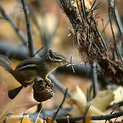 Eastern Chipmunk (Tamias striatus) sitting on a protruding stick from a leaf-covered forest floor during the fall season.