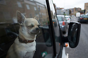 Chihuahua dog looking out of the window of his owners van in Hackney, East London, England, United Kingdom. The Chihuahua is the smallest breed of dogs and is named for the state of Chihuahua. Chihuahuas come in a wide variety of sizes, colors, and coat lengths. (photo by Mike Kemp/In Pictures via Getty Images)