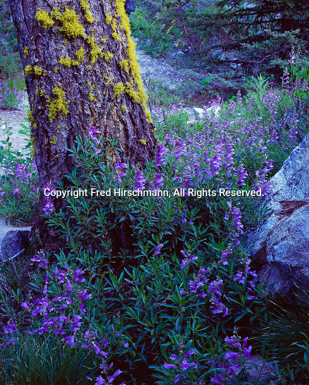 Mountain Penstemon, Penstemon montanus, blooming above Middle Fork Salmon River, Frank Church River of No Return Wilderness, Salmon-Challis National Forest, Idaho.