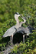 Great Blue Heron - Ardea herodias - fledgling begging for food from adult