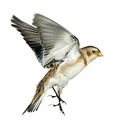 Snow Bunting - Plectrophenax nivalis. L 16-17cm. Confiding, plump-bodied bunting. All birds have extensive white on inner wing, rump and tail. Sexes are dissimilar. Adult male in summer has mainly white plumage with blackish back, black on wings, and black bill and legs. Adult female in summer is similar but back is brownish and has brown and buff streaking on head, neck and sides of breast. Winter birds have mainly white underparts and buffish orange upperparts. Adult males are whitest on wings, face and underparts. Bill is yellowish and legs are black. Voice Has tinkling flight call. Song is twittering. Status Small numbers breed in Scottish mountains but best known as winter visitor, commonest on E coast; saltmarshes, coastal grassland and beach strandlines are favoured.