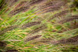 Pennisetum alopecuroides 'Red Head' AGM - Chinese fountain grass