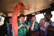 A gregarious ostrich pleases tourists at Molokai Ranch Wildlife Park, a 1,000-acre wildlife park on Molokai, Hawaii. USA. The ostrich sticks his head in the open door of a van full of tourists.