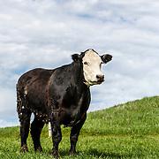20160607  Jeff Angus Cattle