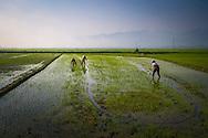 Workers harvest rice fields in Dien Bien Phu, Muong Thanh Valley, Dien Bien Province, Vietnam, Southeast Asia