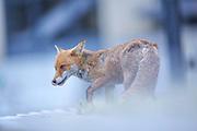 Urban Vixen Fox patrolling her territory at dusk in central Bristol