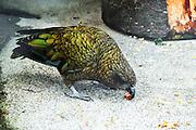 New Zealand, South Island, Kea (Nestor notabilis), Milford Road, Fiordland,