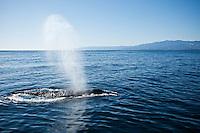 Humpback whale off coast of Santa Barbara, California