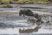 Wildebeest on the Serengeti Plains of East Africa