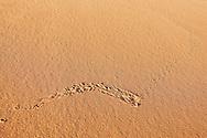 Lizard (Lacertilia) track in sand, in the Sahara desert of Morocco.
