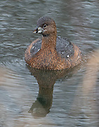 The Pied-billed Grebe glared at me from a small pond in Magnuson Park. Water droplets were beaded across its back and sides.