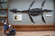 Pliosaur fossil at the Natural History Museum in London, England, United Kingdom. Pliosaurus, meaning more lizard is an extinct genus of thalassophonean pliosaurid. The museum exhibits a vast range of specimens from various segments of natural history. The museum is home to life and earth science specimens comprising some 80 million items within five main collections: botany, entomology, mineralogy, paleontology and zoology. The museum is a centre of research specialising in taxonomy, identification and conservation.