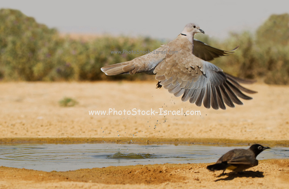 Collared Dove (Streptopelia decaocto) flies away from a water pool in the desert, Negev, Israel