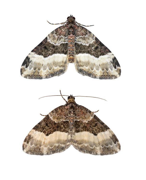 70.065 (1794)<br /> Sharp-angled Carpet - Euphyia unangulata
