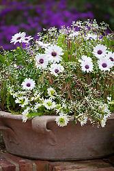 Osteospermum 'F1 Akila White Purple Eye' with Euphorbia hypericifolia Diamond Frost = 'Inneuphe' and Scaevola 'White Wonder' in a shallow terracotta pot