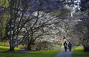 A couple walks through the Washington Park Arboretum enjoying sunny skies on the first day of spring. (Ellen M. Banner / The Seattle Times)