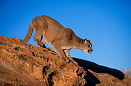 Mountain lion preparing to leap from sandstone [captive, controlled conditions] © David A. Ponton