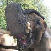 African Elephant, (Loxodonta africana)  Elephant at the Baltimore Zoo in Maryland opens his mouth.  Captive Animal.