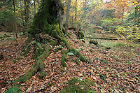 Roots of a beech covered with moss, Valea Crapaturii and Rock of the King, National Park Piatra Craiului, Transylvania, Southern Carpathians, Romania