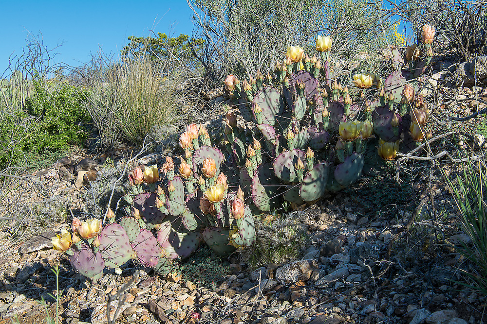 Found only within the greater Big Bend Region, this prickly pear can be vibrant green during wet times, or deep magenta during colder months or dry times. Yellow flowers with red centers will bloom from April to July.  This one was photographed<br />