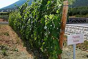 Vines. Robola vine variety. Biblia Chora Winery, Kokkinohori, Kavala, Macedonia, Greece