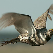 Male sage grouse in flight. Charles M. Russell Wildlife Refuge, Montana