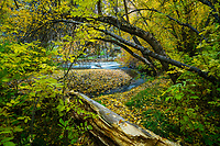 A leaf covered pathway follows along the Logan River in Northern Utah and leads through the changin Fall leaves.