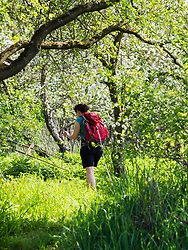 Woman hiking through meadow with cherry tree near Eichstetten, Baden-Wuerttemberg, Germany