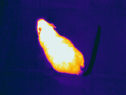 Thermogram of a mouse.  The different colors represent different temperatures on the object. The lightest colors are the hottest temperatures, while the darker colors represent a cooler temperature.  Thermography uses special cameras that can detect light in the far-infrared range of the electromagnetic spectrum (900?14,000 nanometers or 0.9?14 µm) and creates an  image of the objects temperature..
