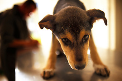 A stray dog suffering from suspected parvovirus awaits treatment from a technician at the SPANA refuge, Marrakech, Morocco.
