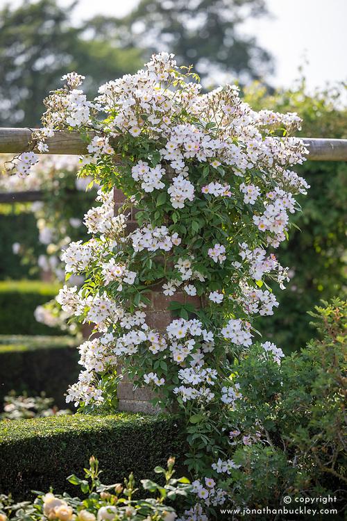 Rosa 'Francis E. Lester' growing on a pergola in the Long Garden