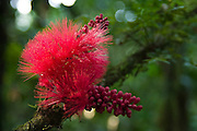 The crimsom bloom of the powder-puff tree (Calliandra haematocephala), Manu National Park, Madre de Dios, Peru.