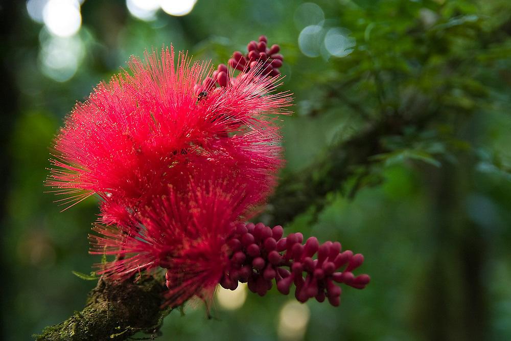 The crimsom bloom of the powder-puff tree (Calliandra haematocephala), Manu National Park, Madre de Dios, Peru.