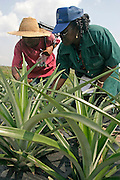 Farm workers inspecting pineapple crops.
