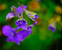 Larkspur after the rain. Image taken with a Fuji X-T3 camera and 80 mm f/2.8 OIS macro lens