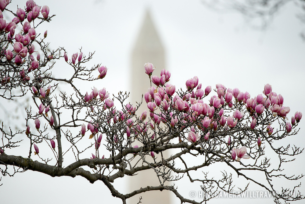Tulip Magnolias starting to bloom near the Tidal Basin in Washington DC. A long, cold winter has delayed all of the areas flowering plants and trees along with the famous cherry blossoms.