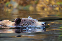 Grizzly bear swimming.