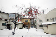 wintry snow covered urban landscape with kaki fruit on bare tree