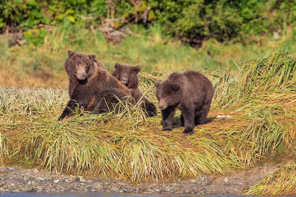 brown bear ~ Ursus arctos ~ mother & cubs ~ Katmai National Park, Alaska ~ www.adventurequestX.com