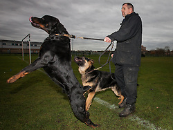 © Licensed to London News Pictures . 13/11/2012 . Manchester , UK . Joe Flood with 18 month old Rottweiler , Buster (left) and 7 month old German Shepherd , Archie (right) . Specialist handlers from Greater Manchester Police put police dogs through their paces at a training event . Greater Manchester Police are appealing for members of the public to donate unwanted dogs to the force . Photo credit : Joel Goodman/LNP
