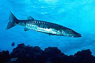 Great Barracuda (Sphyraena barracuda) Bonaire