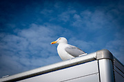 A European herring gull sits on top of a mobile fish shop against a blue sky on Folkestone Sea Front on the 22nd of May 2020 in Folestone, United Kingdom. The European herring gull is one of the best known and largest seagulls across European shore lines.  (photo by Andrew Aitchison / In pictures via Getty Images)