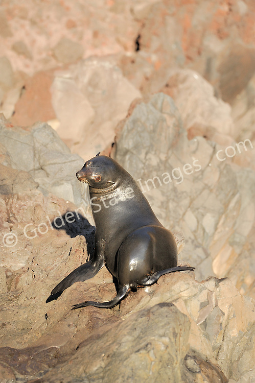 By the late eighteen hundreds had been hunted nearly to extinction. Still rarely seen other than at Guadalupe and San Benitos Islands Baja Mexico.    <br /> <br /> Range: Channel Islands to Cedros Island Baja Mexico    <br /> <br /> Species: Arctocephalus townsendi