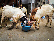 24 SEPTEMBER 2015 - BANGKOK, THAILAND:  Rams eat out of a bucket before sacrificed during the celebration of Eid al-Adha at Haroon Mosque in Bangkok. Eid al-Adha is also called the Feast of Sacrifice, the Greater Eid or Baqar-Eid. It is the second of two religious holidays celebrated by Muslims worldwide each year. It honors the willingness of Abraham to sacrifice his son, as an act of submission to God's command. Goats, sheep and cows are sacrificed in a ritualistic manner after services in the mosque. The meat from the sacrificed animal is supposed to be divided into three parts. The family retains one third of the share; another third is given to relatives, friends and neighbors; and the remaining third is given to the poor and needy.    PHOTO BY JACK KURTZ