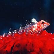 Blackedge Triplefin inhabit reefs, often perch in open, frequently on sponges, usually below 20 ft., in Tropical West Atlantic; picture taken Grand Cayman.