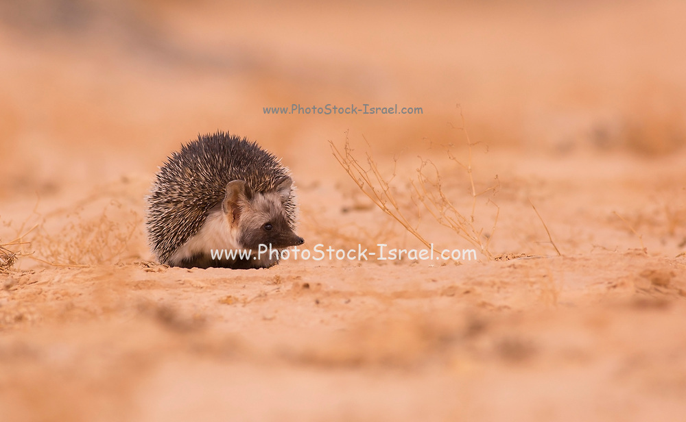 Desert Hedgehog (Paraechinus aethiopicus) Photographed in the negev desert, israel in March