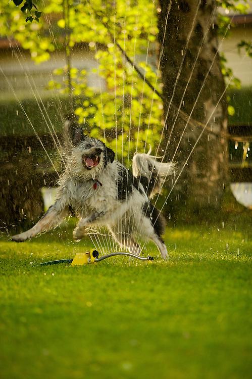 Annie with Sprinkler, Anchorage Alaska