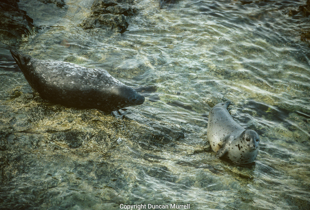The total Alaska harbor seal population is estimated at approximately 141,000 in non-glacial sites and approximately 15,000 in glacial fjords. Harbor seals are difficult to census because they can only be accurately counted when they are hauled out. They haul out at different times of the day at thousands of locations in Alaska; both at terrestrial sites and on glacial ice calved from tidewater glaciers. During any survey, some seals are in the water and not available to be counted while others are hauled out, but the proportion of the total population hauled out at any given time is unknown and must be estimated. One way to arrive at this estimate is to radio tag seals in the area, prior to conducting a survey. When the survey is conducted, the proportion of radio-tagged seals that are not hauled out provides a correction factor to estimate the total seal population (e.g., if 3 of 10 tagged seals were not hauled out, an additional 30% would be added to the count of seals hauled out to estimate the total population).