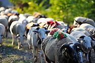 Retour du troupeau de Jean-Claude Boisson à la mi-septembre, après avoir passé 3 mois en transhumance sur le massif du Lingas.