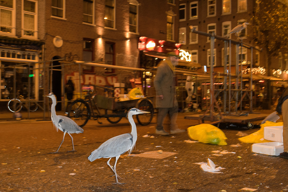 Grey Heron ( Ardea cinerea). Amsterdam, Netherlands. April 2017. Heron congregate around the fish stalls as city markets are closing picking up scraps of food.